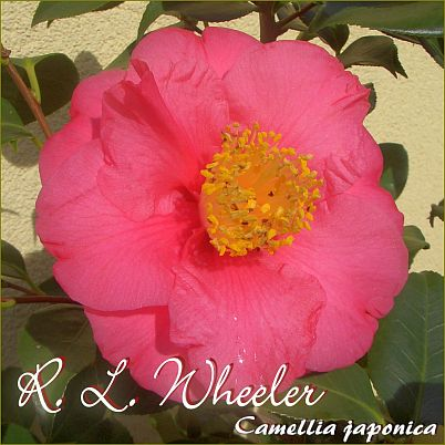 R. L. Wheeler - Camellia japonica - Preisgruppe 5