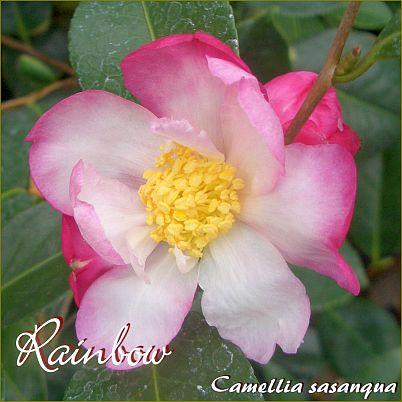 Rainbow - Camellia sasanqua - Preisgruppe 7