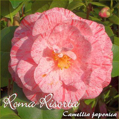 Roma Risorta - Camellia japonica - Preisgruppe 7