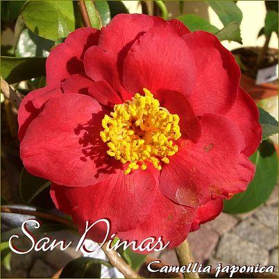 San Dimas - Camellia japonica - Preisgruppe 4