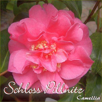 Schloss Pillnitz - Camellia - Preisgruppe 2