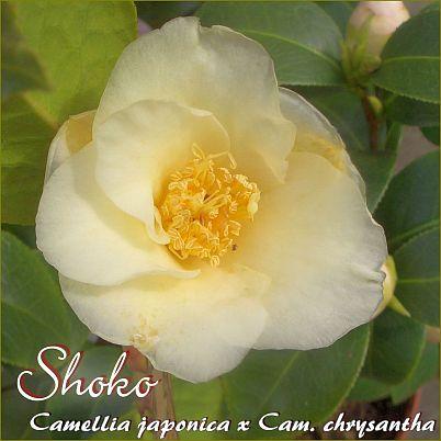 Shoko - Camellia japonica x Cam. chrysantha - Preisgruppe 4