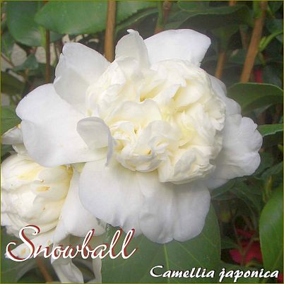 Snowball - Camellia japonica - Preisgruppe 7