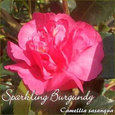Sparkling Burgundy - Camellia sasanqua - Preisgruppe 7