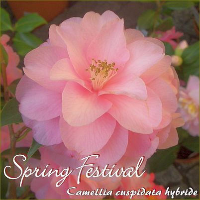 Spring Festival - Camellia cuspidata hybride - Preisgruppe 7