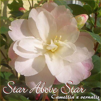 Star Above Star - Camellia x vernalis - Preisgruppe 2