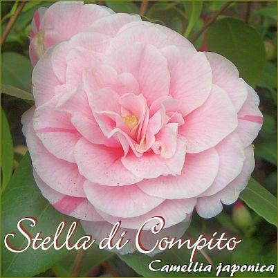 Stella di Compito - Camellia japonica - Preisgruppe 2