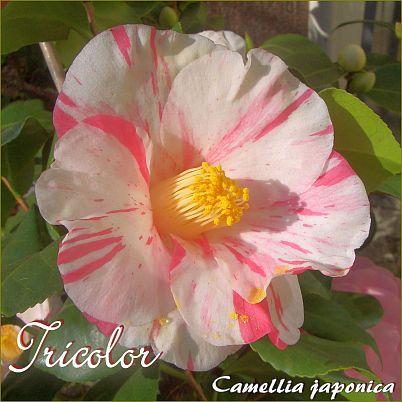 Tricolor - Camellia japonica - Preisgruppe 2