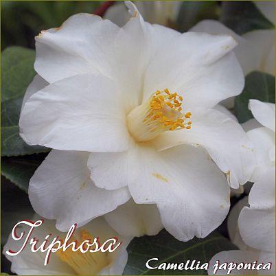 Triphosa - Camellia japonica - Preisgruppe 4