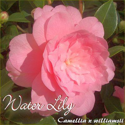 Water Lily - Camellia x williamsii Hybride - Preisgruppe 2