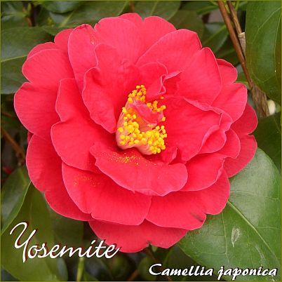 Yosemite - Camellia japonica - Preisgruppe 2