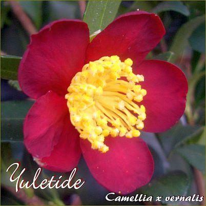 Yuletide - Camellia x vernalis - Preisgruppe 4