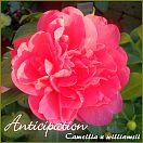 Anticipation - Camellia x williamsii - Preisgruppe 4