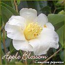 Apple Blossom - Camellia japonica - Preisgruppe 7