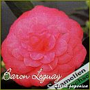 Baron Leguay - Camellia japonica - Preisgruppe 4