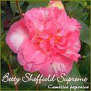 https://www.kamelienshop24.de/media/images/kamelienfotos-preview/betty_sheffield_supreme1.jpg