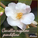 https://www.kamelienshop24.de/media/images/kamelienfotos-preview/camellia-cuspidata-grandiflora1.jpg