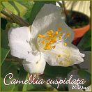 Camellia cuspidata - Wildart - Preisgruppe 2