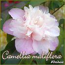 Camellia maliflora - Wildart - Preisgruppe 4