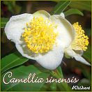 https://www.kamelienshop24.de/media/images/kamelienfotos-preview/camellia_sinensis1.jpg