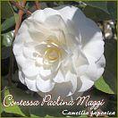 https://www.kamelienshop24.de/media/images/kamelienfotos-preview/contessa-paolina-maggi1.jpg