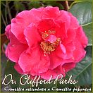 Dr. Clifford Parks - Camellia reticulata x Camellia japonica - Preisgruppe 5