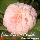 Frau Minna Seidel - Camellia japonica - Preisgruppe 2