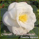 https://www.kamelienshop24.de/media/images/kamelienfotos-preview/janet_waterhouse1.jpg