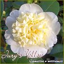 Jurys Yellow - Camellia x williamsii - Preisgruppe 6