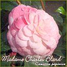 Madame Charles Blard - Camellia japonica - Preisgruppe 7