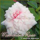 Mathotiana Rosea - Camellia japonica - Preisgruppe 2