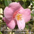 Minato-no-akebono - Camellia hybride - Preisgruppe 4