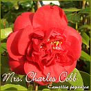 https://www.kamelienshop24.de/media/images/kamelienfotos-preview/mrs_charles_cobb1.jpg