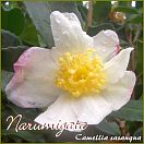 https://www.kamelienshop24.de/media/images/kamelienfotos-preview/narumigata1.jpg