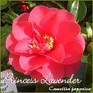 https://www.kamelienshop24.de/media/images/kamelienfotos-preview/princess_lavender1.jpg