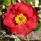San Dimas - Camellia japonica - Preisgruppe 2