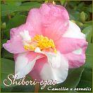 Shibori-egao - Camellia x vernalis - Preisgruppe 4