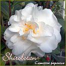 https://www.kamelienshop24.de/media/images/kamelienfotos-preview/shirobotan1.jpg