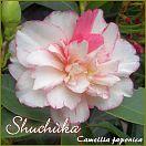 https://www.kamelienshop24.de/media/images/kamelienfotos-preview/shuchuka1.jpg