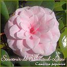Souvenir de Bahuaud-Litou - Camellia japonica - Preisgruppe 2