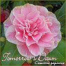 Tomorrows Dawn - Camellia japonica - Preisgruppe 2
