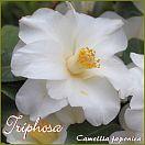 Triphosa - Camellia japonica - Preisgruppe 3 (IT)