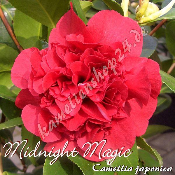 midnight magic preisgruppe 4 kamelien online kaufen oleanderhof. Black Bedroom Furniture Sets. Home Design Ideas