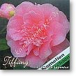 Camellia japonica Tiffany