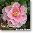 Camellia japonica Yours Truly